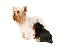 Yorkshire Terriers Stock Photo