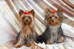Yorkshire terriers. On color background stock photo