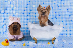 Yorkshire terriers are bathed in the bathroom.  Royalty Free Stock Image
