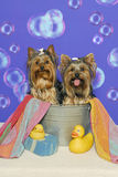 Yorkshire Terriers in a Bathtub. Two yorkshire terriers sit in a bathtub with yellow rubber ducks, a towel, sponge and floating bubbles in the background Royalty Free Stock Image