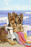 Yorkshire Terriers in a Beach Chair Stock Photography