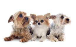 Yorkshire terriers and chihuahua Royalty Free Stock Photos