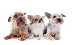 Stock Photos: Yorkshire Terriers dressed up, 4 and a half