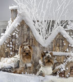 Yorkshire terriers. In front of a Christmas scenery Stock Image