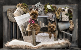 Yorkshire terriers Royalty Free Stock Images