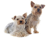 Yorkshire terriers Royalty Free Stock Image