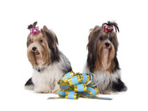 Yorkshire terriers give a gift Royalty Free Stock Photo