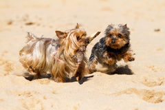 Yorkshire terriers Stock Image