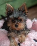 Yorkshire Terrier, Teacup, Fun Loving Dog stock images