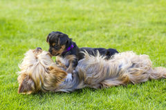 The yorkshire terriers Stock Photo