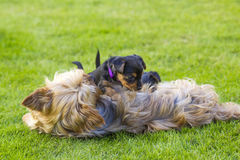 The yorkshire terriers Stock Image