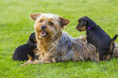 The yorkshire terriers. Mother and its lovely children. The yorkshire terriers Royalty Free Stock Photography