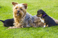 The yorkshire terriers. Mother and its lovely children. The yorkshire terriers Stock Image