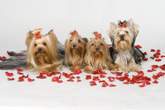 Free Yorkshire Terriers On White Background Royalty Free Stock Photo - 8497705