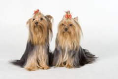 Free Yorkshire Terriers On White Background Royalty Free Stock Images - 8498229