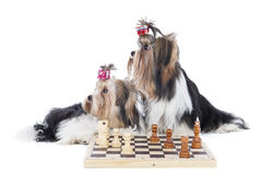 Yorkshire terriers are playing chess Royalty Free Stock Photo
