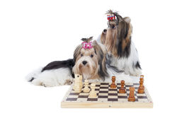 Yorkshire terriers are playing chess Stock Photography