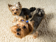 Yorkshire terriers are playing  in the room, one is barking Royalty Free Stock Photography