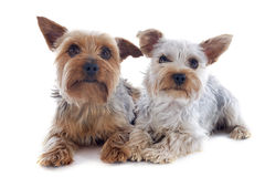 Yorkshire terriers Stock Photography