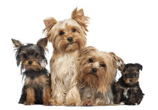 Yorkshire Terriers sitting royalty free stock photography