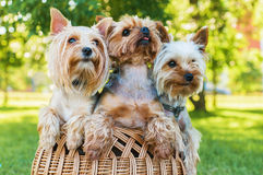 Yorkshire terriers sitting in the basket outdoors Stock Images