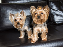 Yorkshire terriers are sitting on the black sofa Royalty Free Stock Images