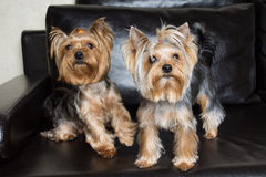 Yorkshire terriers are sitting on the black sofa Royalty Free Stock Photo