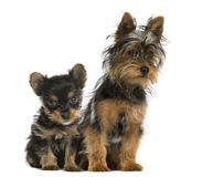 Yorkshire terriers sitting Royalty Free Stock Photos
