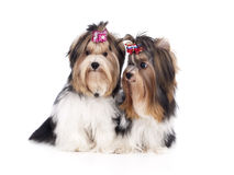 Yorkshire Terriers Stock Images