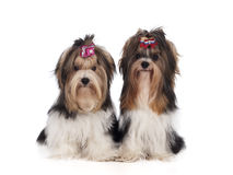 Yorkshire Terriers are sitting Royalty Free Stock Photos