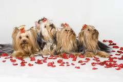 Yorkshire terriers on white background Stock Photos