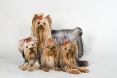 Yorkshire terriers on white background royalty free stock photo