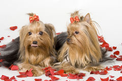 Yorkshire terriers on white background Stock Image