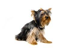 Yorkshire-Terrierwelpe Lizenzfreie Stockfotografie