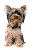 Yorkshire-Terrierwelpe Stockbild