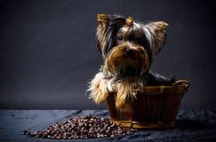 Yorkshire-Terrierwelpe Stockfotografie