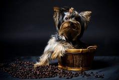 Yorkshire-Terrierwelpe Lizenzfreie Stockfotos