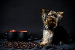 Yorkshire-Terrierwelpe Stockbilder