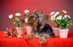 Yorkshire-Terrierwelpe Lizenzfreies Stockbild
