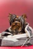 Yorkshire-Terrierwelpe Lizenzfreies Stockfoto