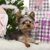 Yorkshire-Terrierwelpe, 3 Monate alte, liegend Lizenzfreie Stockbilder