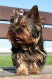 Yorkshire-Terrierwelpe 2 Lizenzfreie Stockbilder