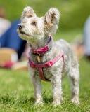 Yorkshire-Terrierwelpe in einem rosa Geschirr stockfotografie