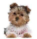 Yorkshire-Terrierwelpe oben gekleidet Lizenzfreie Stockfotos