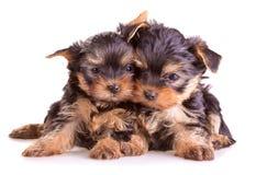 Yorkshire-Terrierwelpen lizenzfreie stockbilder