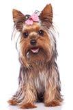 Yorkshire-Terrierwelpenhundesitzen und -c$keuchen Lizenzfreie Stockbilder
