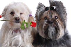 Yorkshire-und maltesischer Hundwelpe lizenzfreie stockfotos
