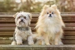Yorkshire und Pomeranian Stockfotografie
