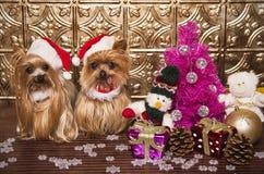 Yorkshire van Kerstmis terriërhonden Royalty-vrije Stock Afbeelding