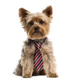 Yorkshire wearing a tie Stock Photo